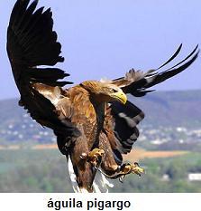 Ejemplar de Aguila pigargo