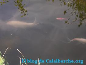Carpas koi nadando en su magnífico estanque