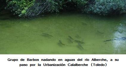 -Barbos en el río alberche a su paso por Calalberche (Zona de