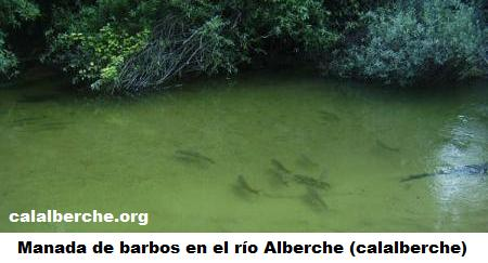 Barbos en el río Alberche (Calalberche.org)
